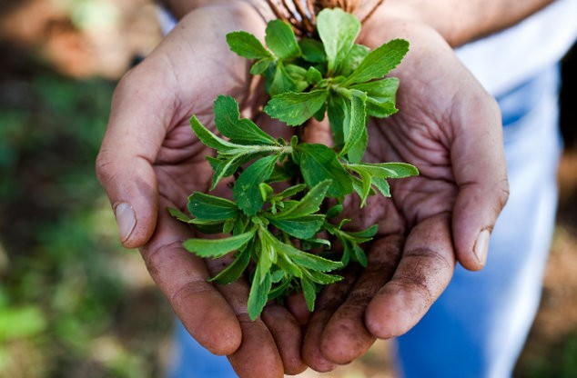 Stevia Plant Cultivation Process, Profit And Cost In India